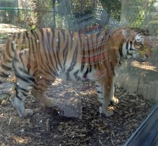 Tigercloseup4