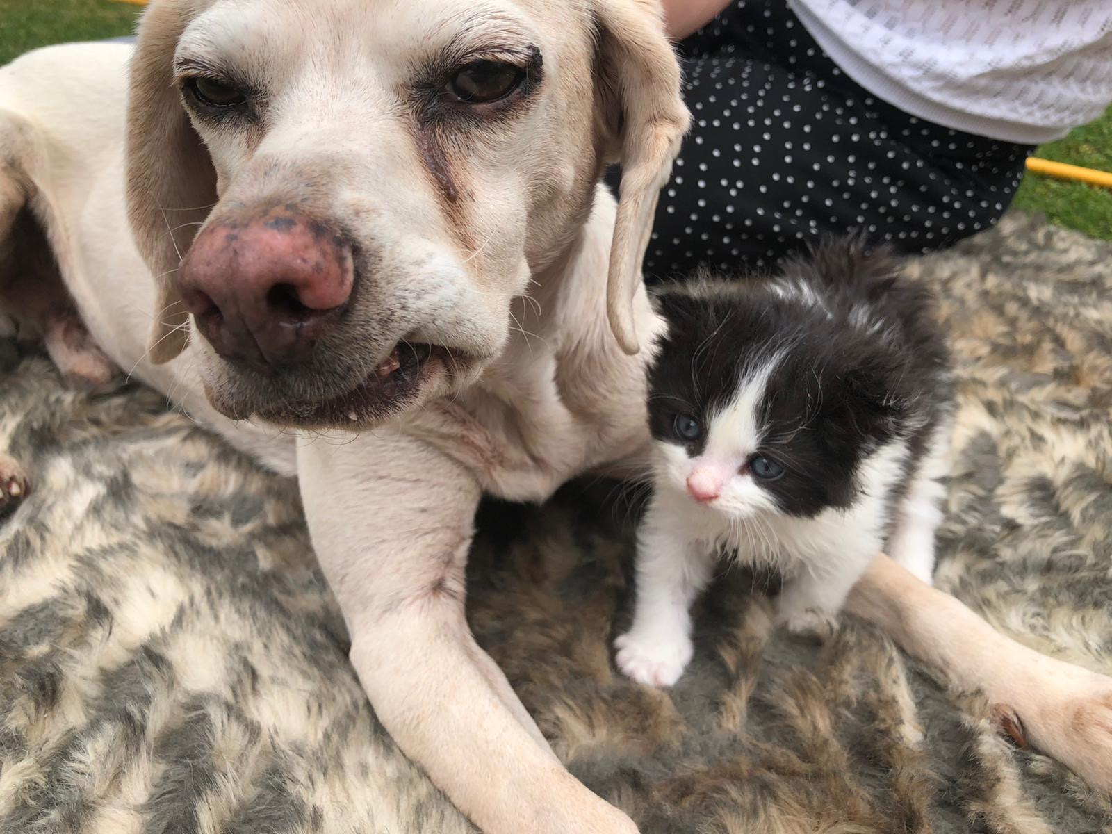 Rescue Beagle Helping to Raise Homeless Kitten During Lockdown
