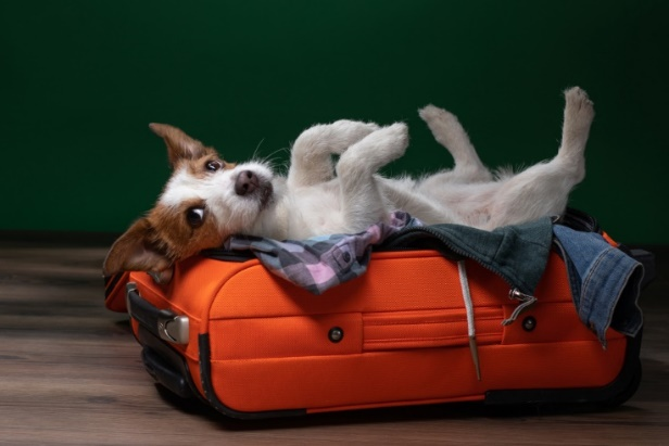 A dog lying in a suitcase Description automatically generated with low confidence