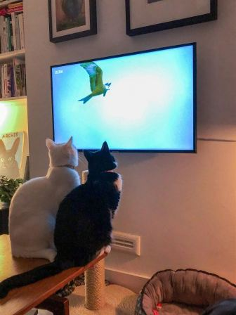 Cats sitting on a table watching tv Description automatically generated with low confidence