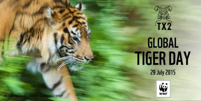 Sumatran tiger (Panthera tigris sumatrae) walking.