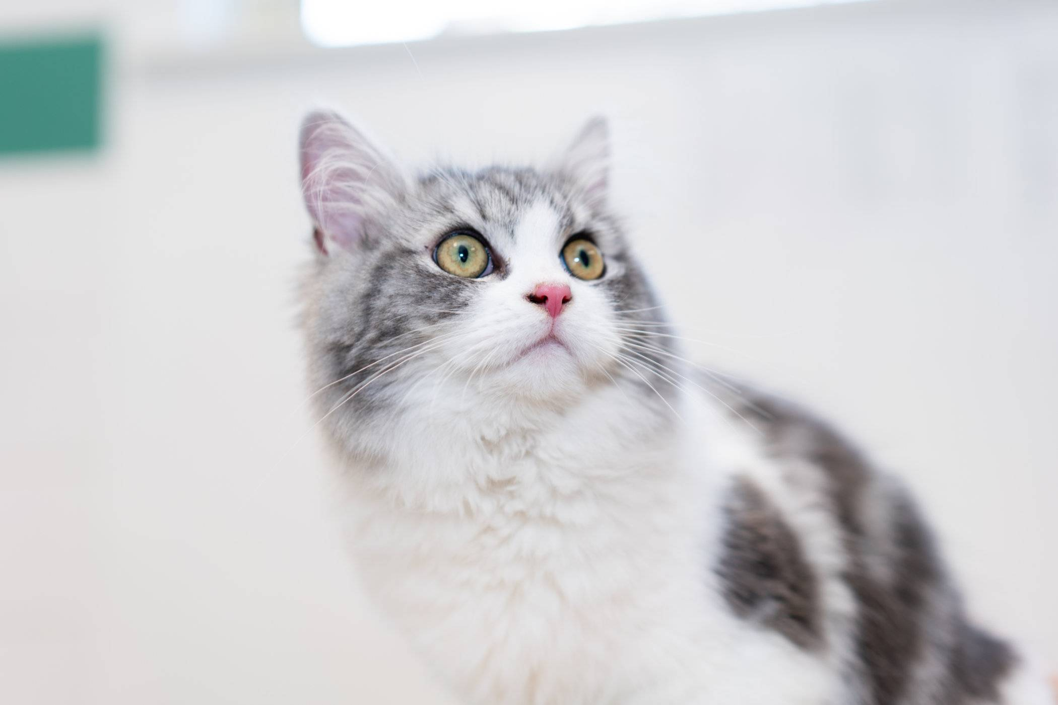 Kitten saved by PDSA after eating toxic pollen