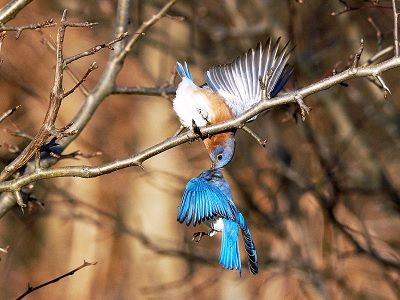 See 'Bluebirds (photo 1)'
