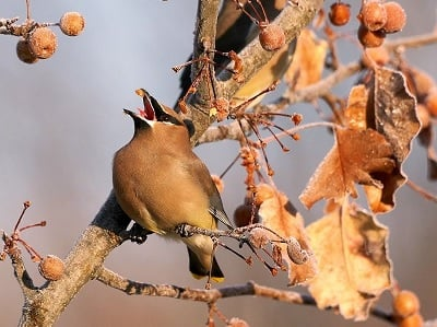 See 'Cedar waxwing (photo 2)'