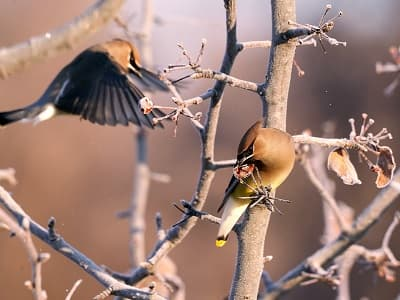 See 'Cedar waxwing (photo 7)'