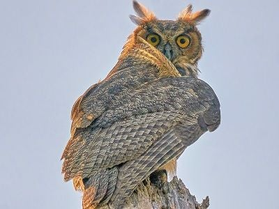 See 'Great horned owl (photo 4)'