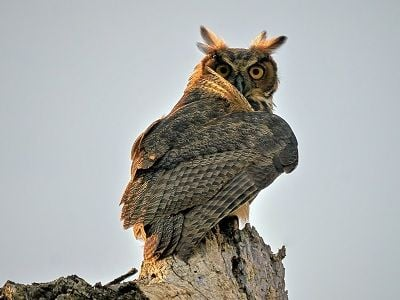 See 'Great horned owl (photo 5)'