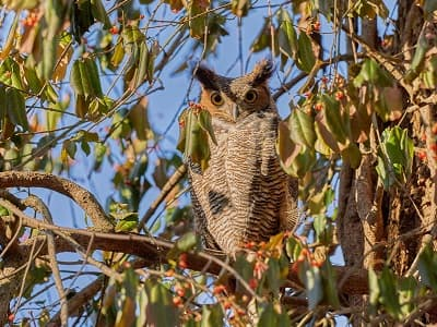 See 'Great horned owl (photo 7)'