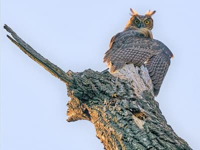 See 'Great horned owl (photo 8)'