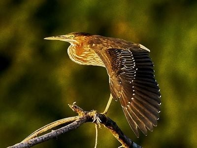 See 'Green heron (photo 1)'