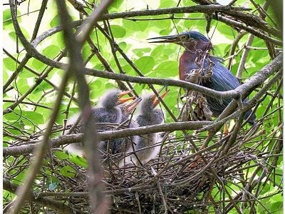 See 'Green heron nest (photo 1)'