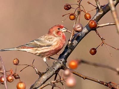 See 'House finch'