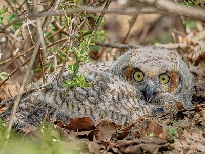See 'Owlet (photo 1)'