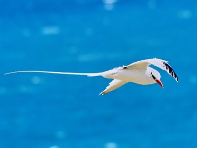 See 'Red-billed tropicbird'