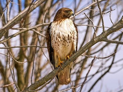 See 'Red tail hawk (photo 2)'