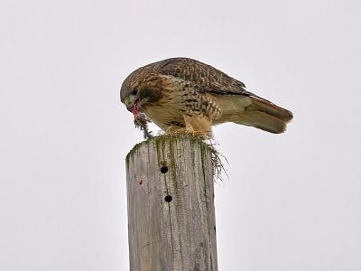 See 'Red tail hawk (photo 3)'