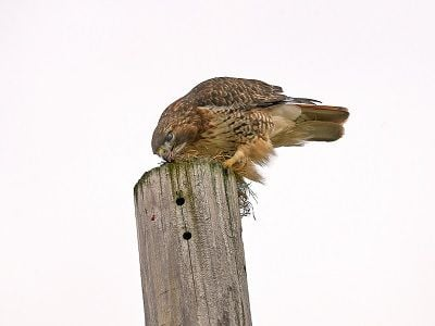 See 'Red tail hawk (photo 4)'