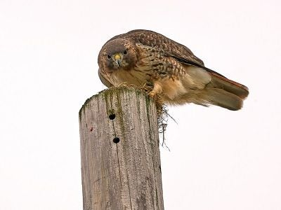 See 'Red tail hawk (photo 5)'