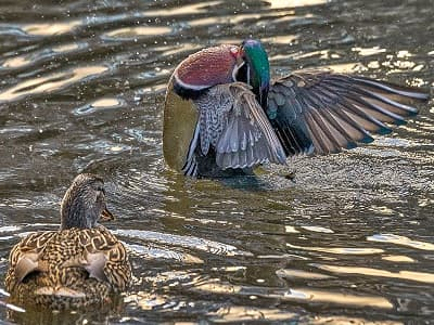 See 'Wood duck (photo 4)'
