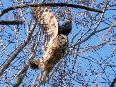 See 'Barred owl (photo 2)'