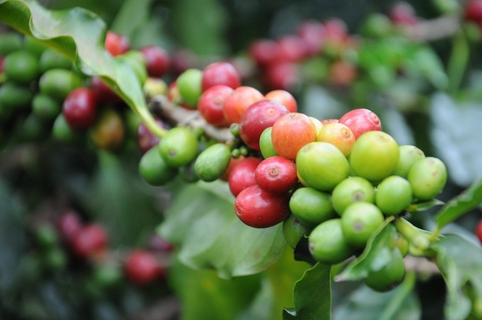 Kávécseresznye színe