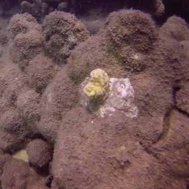 coral replant 4