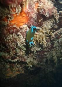 gloomy nudibranch