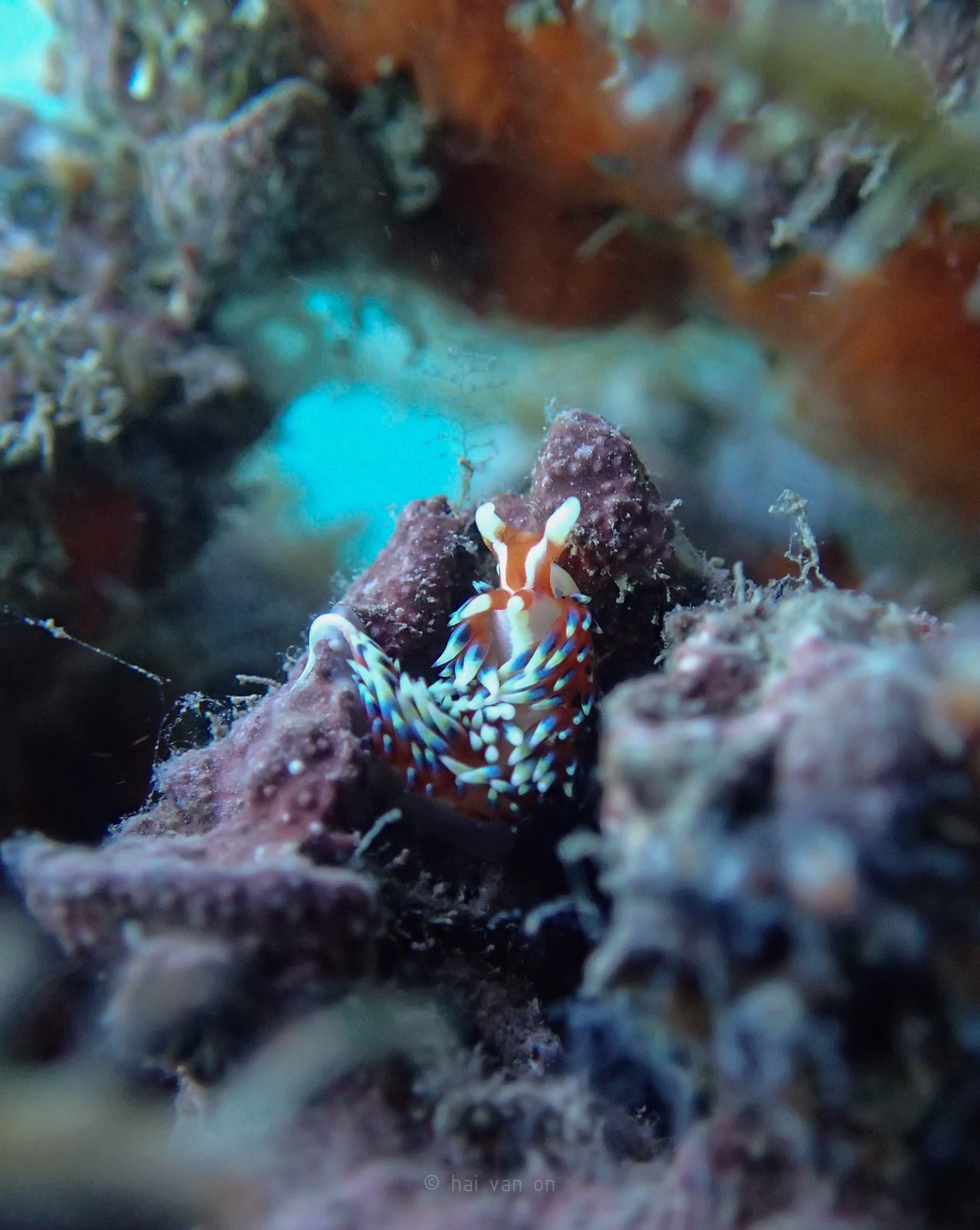 caloria sp3 nudibranch