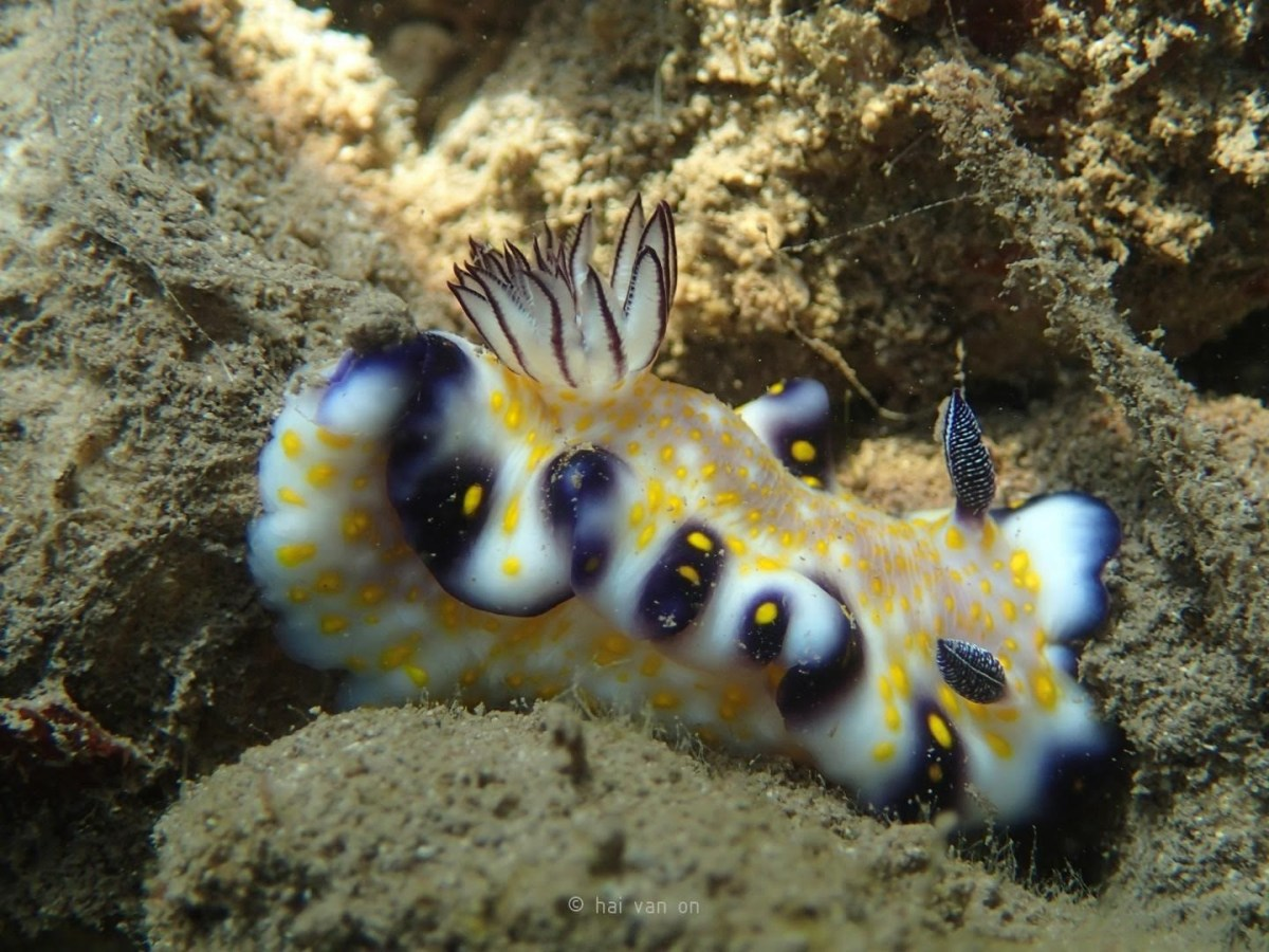 imperial nudibranch