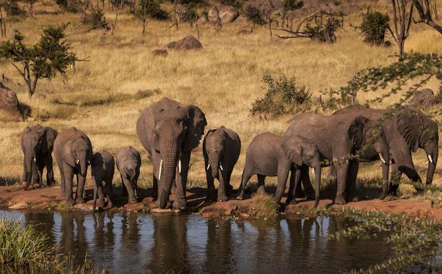 Elefantes na Africa