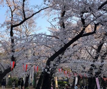 放置していたら桜が咲きました