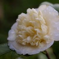 Camélia Blanc