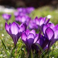 Crocus violets en lumière
