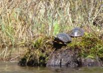 Knapp turtles 1