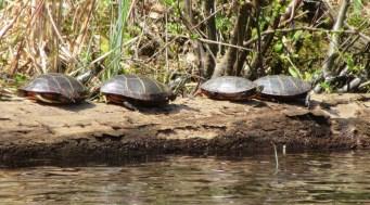 Knapp turtles 4 (2)