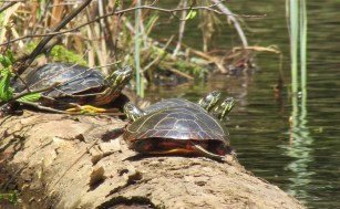Knapp turtles 4