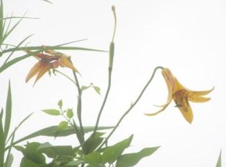 Merremack Canada Lily