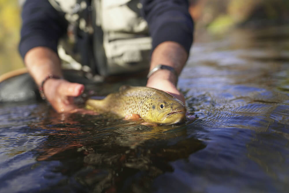 Catch and Release a brown trout by a fly fisherman