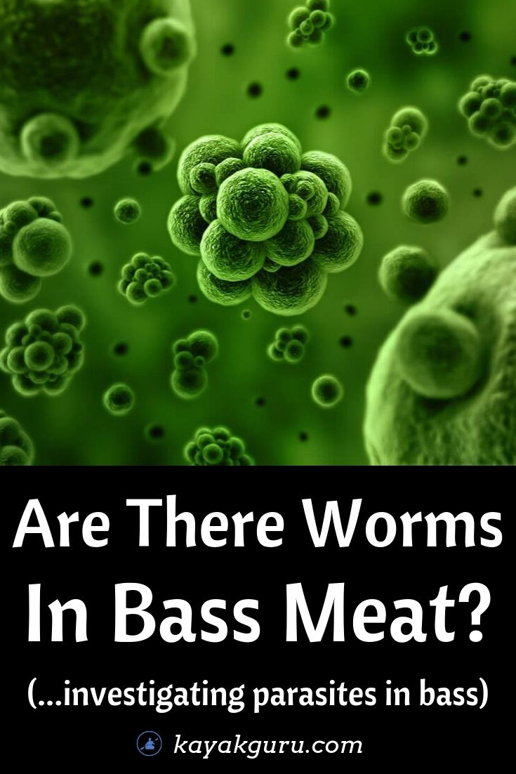 Are There Worms In Bass Meat?- Pinterest Image