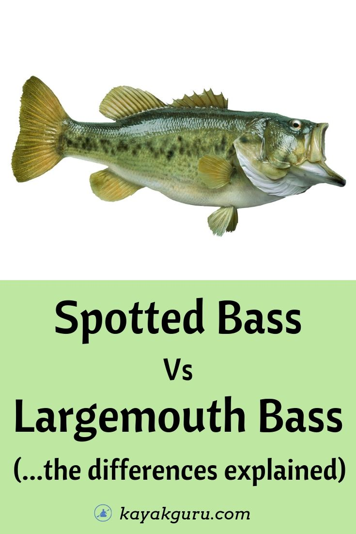 Spotted Bass vs Largemouth Bass - The Differences - Pinterest Image
