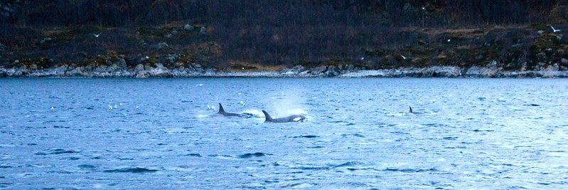Norway - Kayaking With Orcas