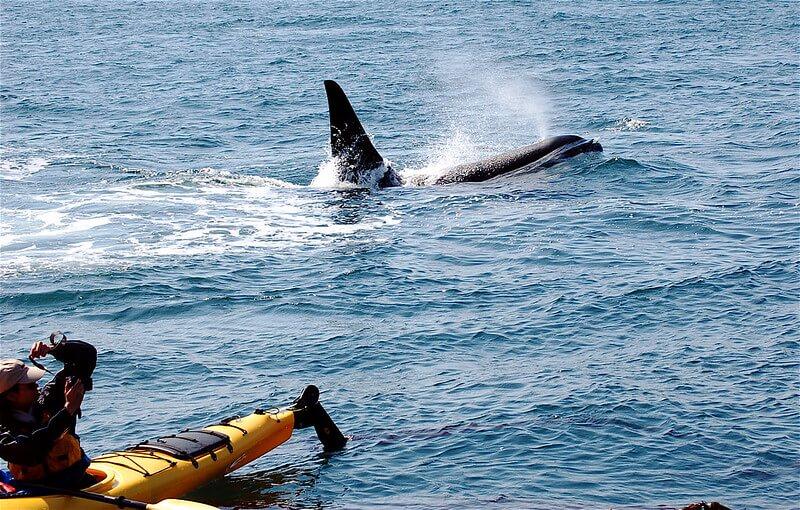 Washington - Kayaking With Orcas
