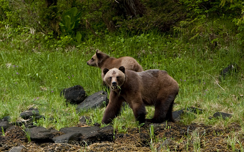 Brown Bear - sow with cub