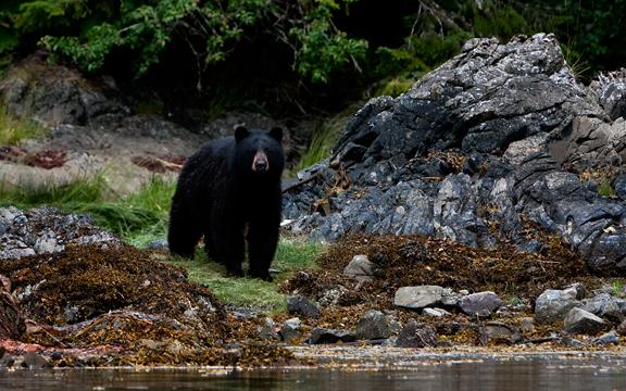 Blackbear keeping watch