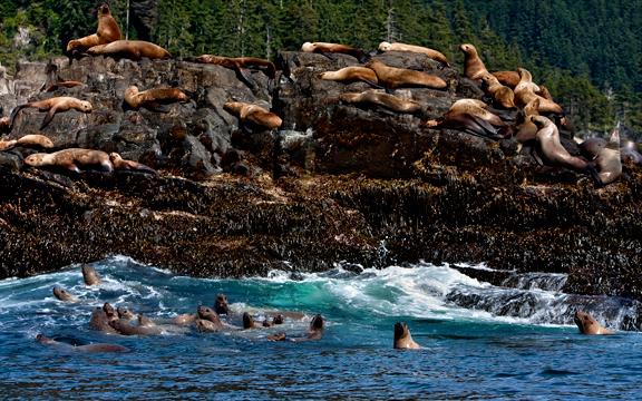 Sealions on the coast