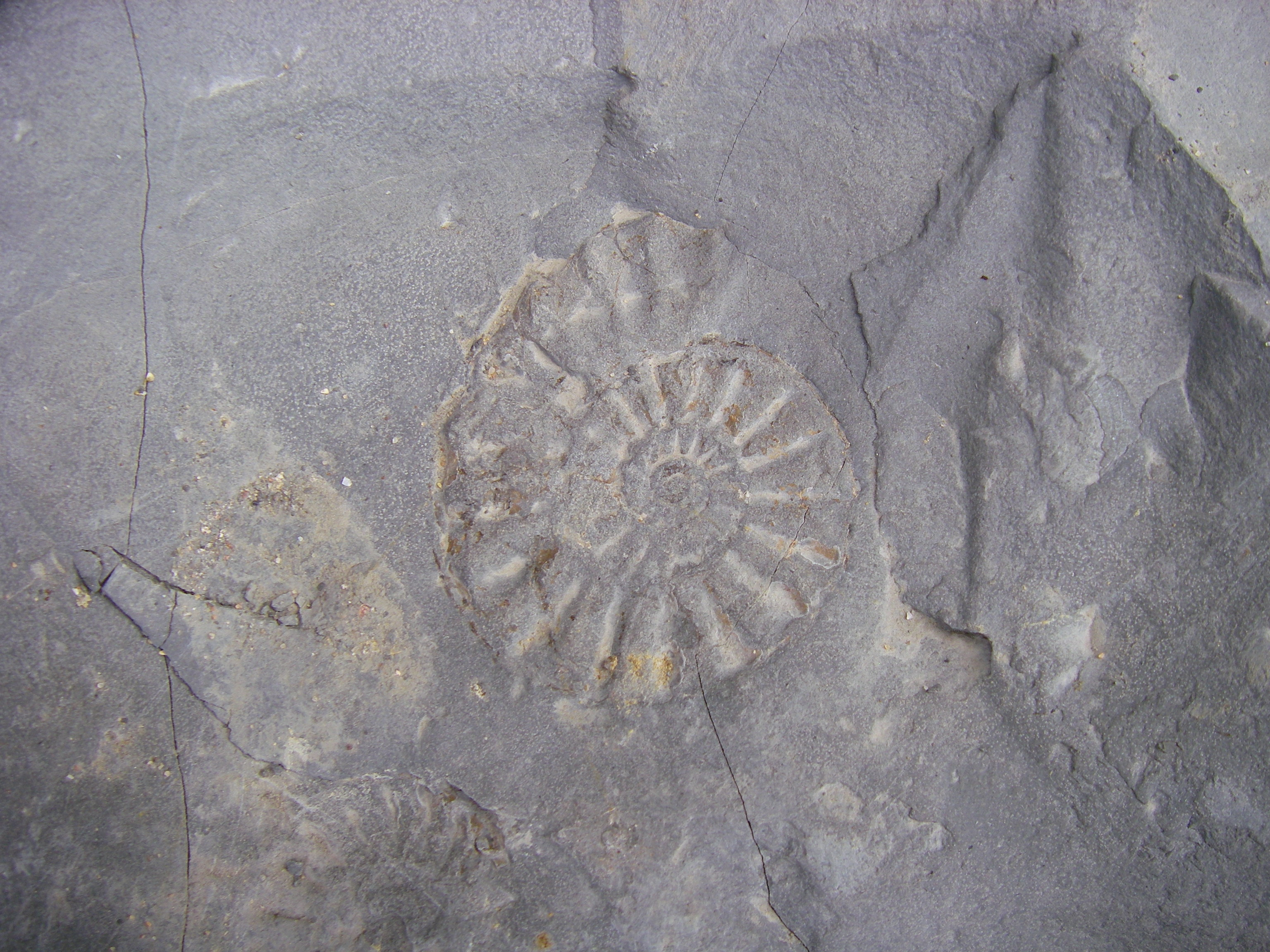 The Ammonite. The world's most popular fossil?