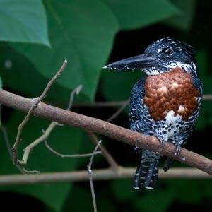 Giant_kingfisher_Megaceryle_maxima_jinja_uganda