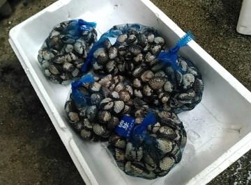 赤貝 サルボウ貝