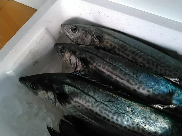 青箭魚 ( サゴシ )