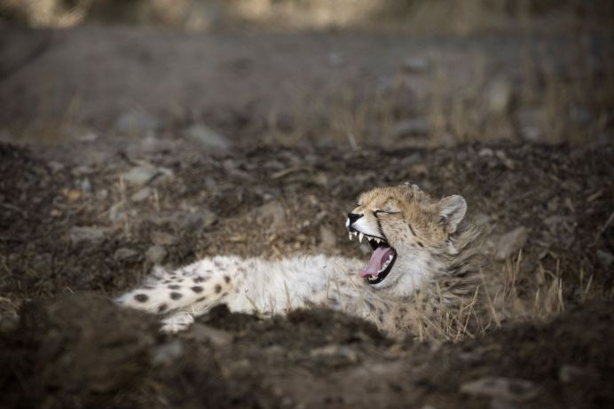 FILE PHOTO: Kooshki, an Asiatic cheetah captured by a poacher as a cub and rescued by the Department of Environment, sits in his enclosure at the Pardisan Zoo in Tehran. REUTERS./